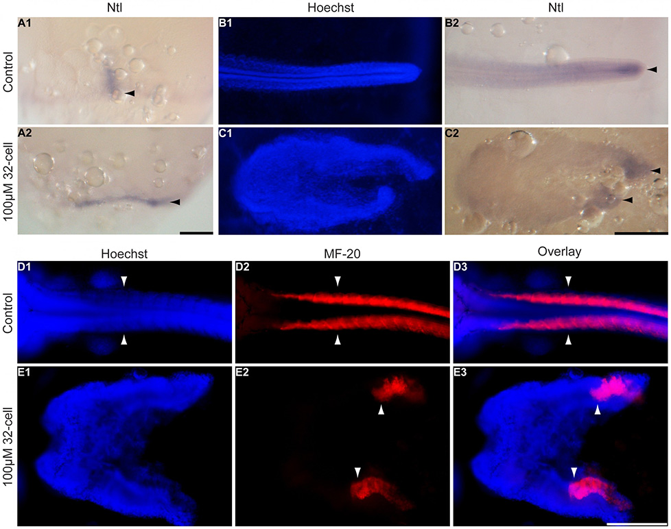 In-situ hybridisation and antibody staining of wild-type and splitbody phenotype in K. marmoratus