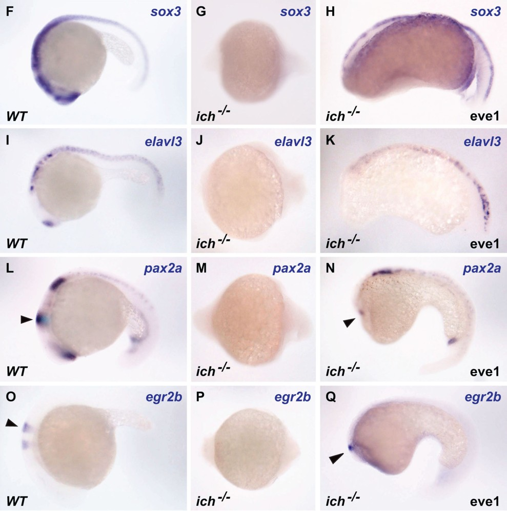 Partial rescue of Ichabod organiser mutant by overexpression of eve1 gene