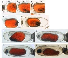 Embryonic development of the Tomato Clownfish. Ghosh et al. (2009) J. Fish Biol.