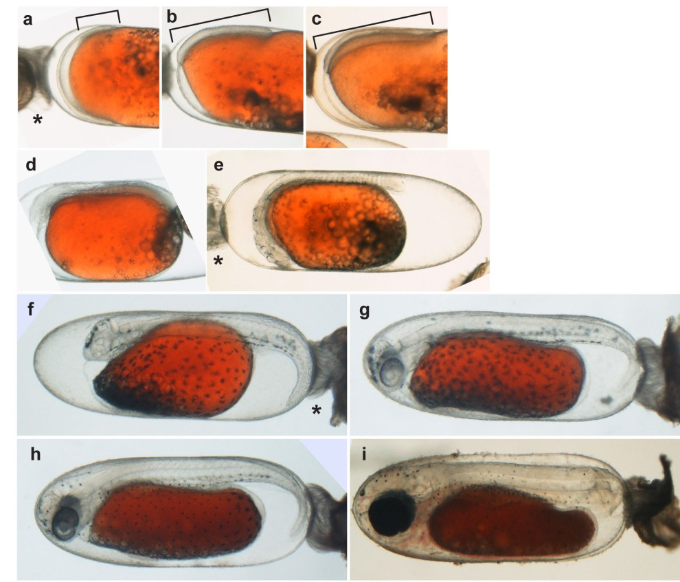 Embryonic development of the Tomato Clownfish Amphiprion frenatus